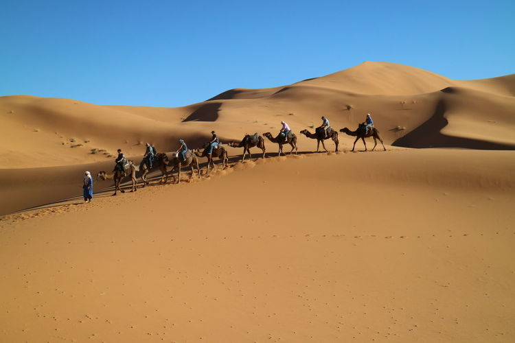 Tuareg leads tourists riding camels in desert