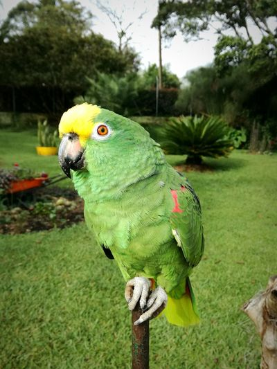 Parrot Bird Animal Themes Domestic Animals Birdsofeyeem Birds_collection Close-up Outdoors Cuteanimals Beautifulanimals Beautifulbird Colombia Antioquia Mytravels Travel Destinations Colorful Animallover