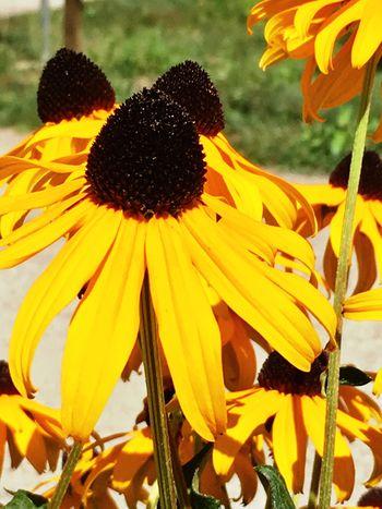 Flowers Yellow Flower Flowering Plant Petal Plant Growth Flower Head Fragility Pollen Black-eyed Susan