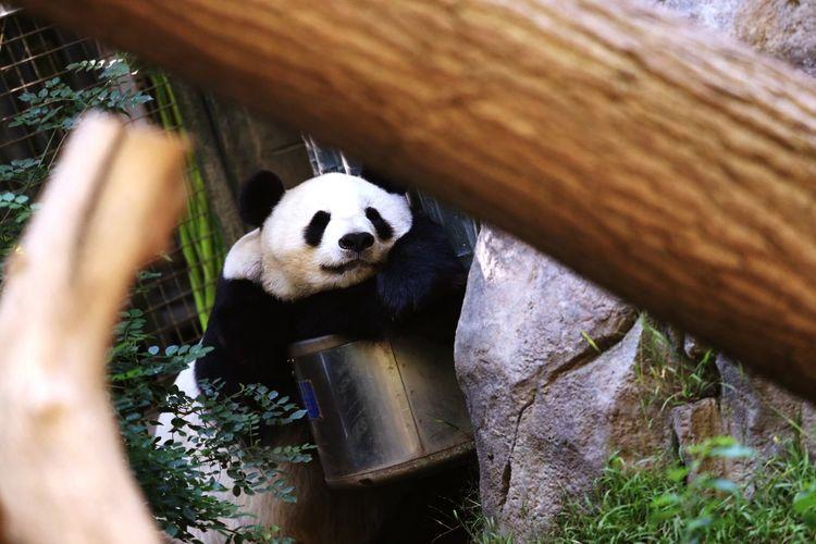 Panda by rock in zoo