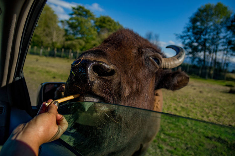 Close-up of hand eating cow on field