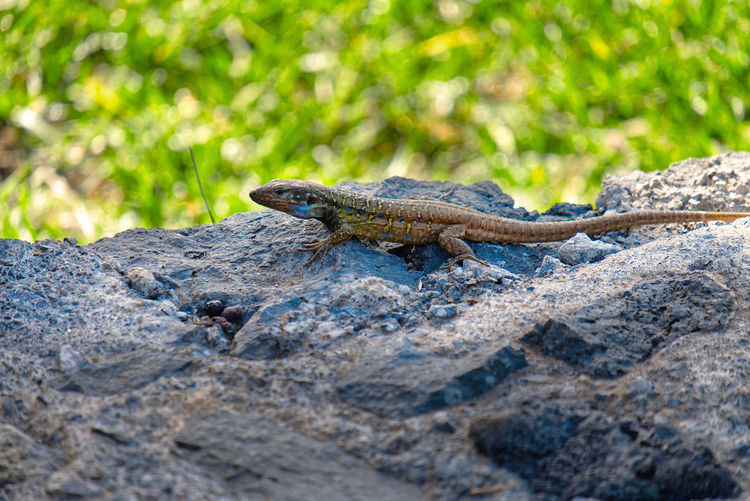Lizards of the