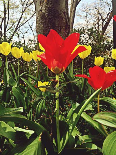 チューリップが、咲いてきましたね Flower Collection Flower Porn EyeEm Flower Spring_flowers