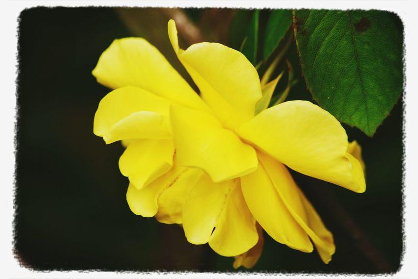 Flower #rose #pink #yellow #nature Taking Photos ❤ Galaxy S3 & EYEem Editing. Beautiful ♥