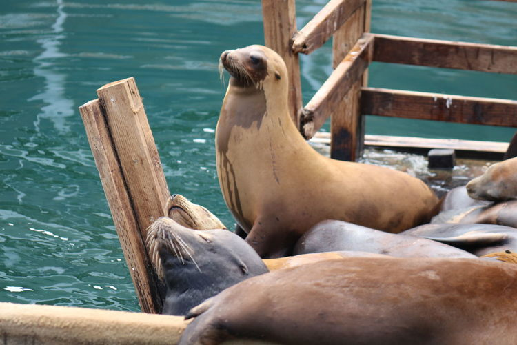High angle view of sea lion on wooden pier