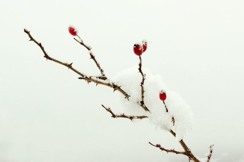 It's Cold Outside Snow Day Snowing Snow Snow ❄ Snow❄⛄ Plants Plant Red Fruits Red White Branches