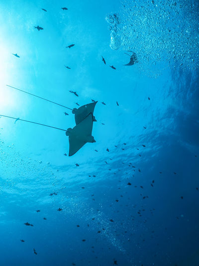 Eagle rays swimming through the sunbeam underwater Diving Eagle Ray Light Ray Scuba Diving Snorkeling Adventure Animal Animal Themes Animal Wildlife Blue Fish Group Of Animals Marine Nature Ocean School Of Fish Sea Sea Life Stingray Sun Swimming UnderSea Underwater Water