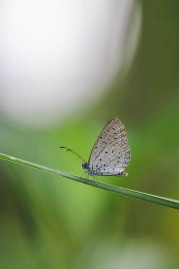 Invertebrate Animal Wildlife Insect Animal Themes Animal Animals In The Wild One Animal Animal Wing Focus On Foreground Close-up Beauty In Nature Plant Day No People Nature Selective Focus Animal Antenna Animal Body Part Butterfly - Insect Green Color Butterfly