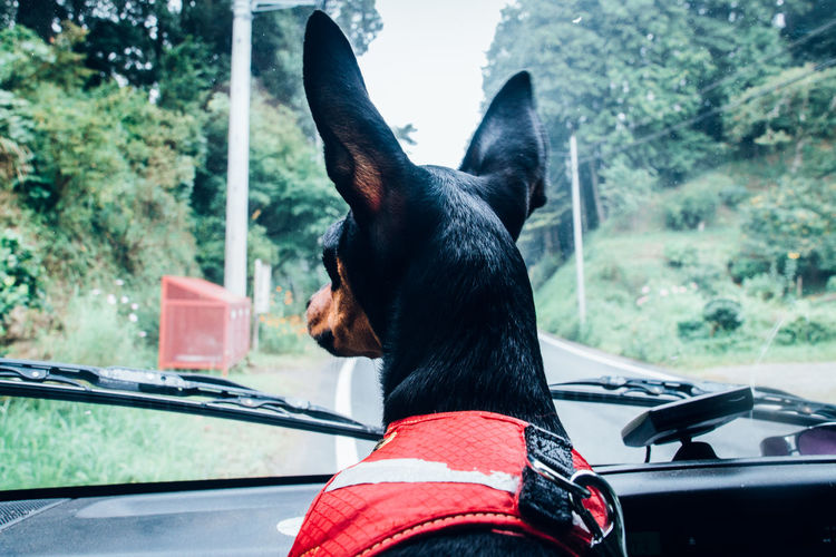 Dog Looking Through Window Of Car