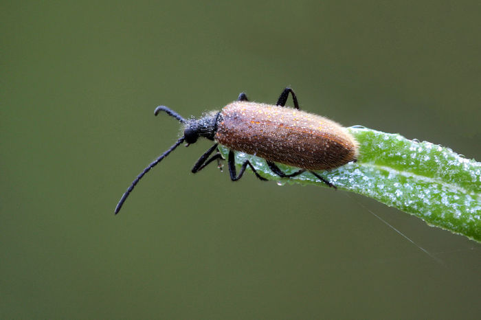 Lagria hirta Fuzzy Lagria Hirta Lithuania Animal Animal Themes Animal Wildlife Animals In The Wild Arthropod Beach Beetle Close-up Coleoptera Day Insect Insect Paparazzi Invertebrate Nature No People One Animal Outdoors Plant Part Tenebrionidae Zoology