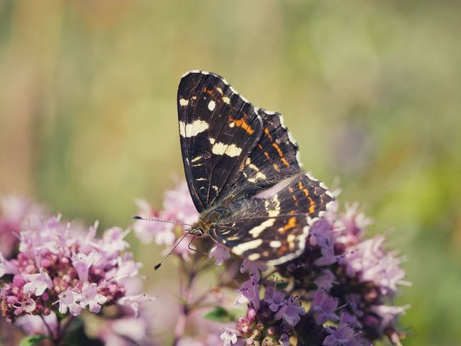 Map Butterfly Butterfly Insect Animals Animals In The Wild Macro Nature Flower Close-up Fragility Outdoors Animal Themes Exceptional Photographs Check This Out Beautiful Nature EyeEm Best Shots Pollination EyeEm Nature Lover Taking Photos