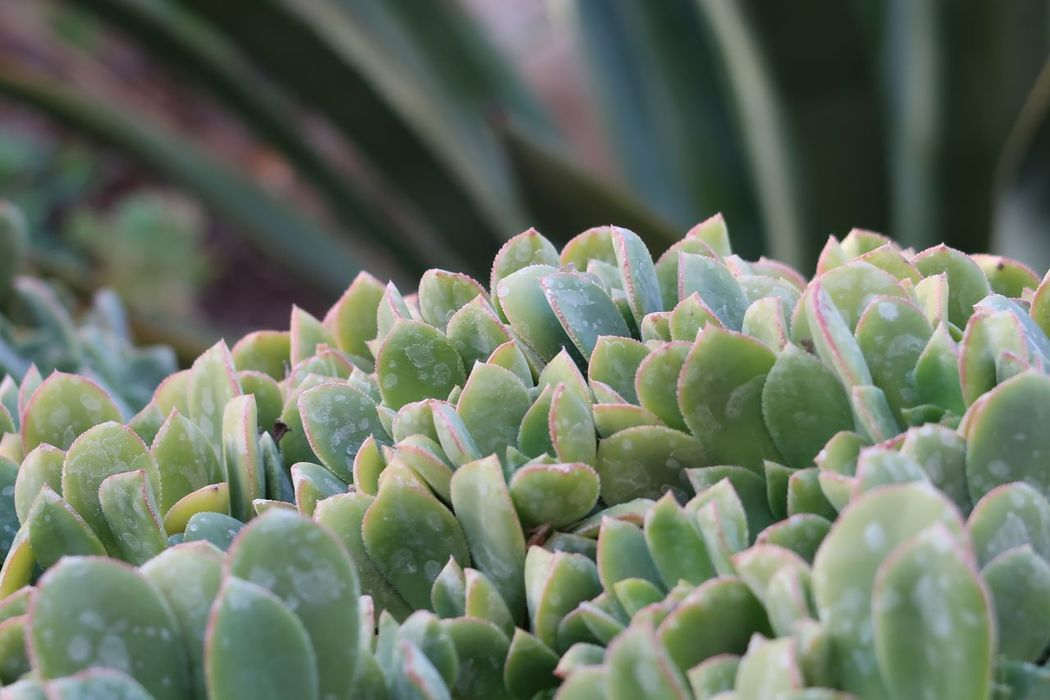 Close up of small succulents Succulents EyeEm Selects Growth Nature Beauty In Nature Green Color Plant Freshness Cactus Close-up No People Day Outdoors Fragility