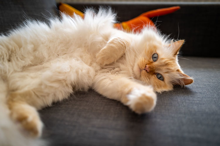 Birman Cat Domestic Pets Domestic Animals Mammal Animal Animal Themes One Animal Relaxation Indoors  Cat Vertebrate Lying Down Domestic Cat Feline Home Interior No People Selective Focus Furniture Sofa Close-up Whisker Birman Cat