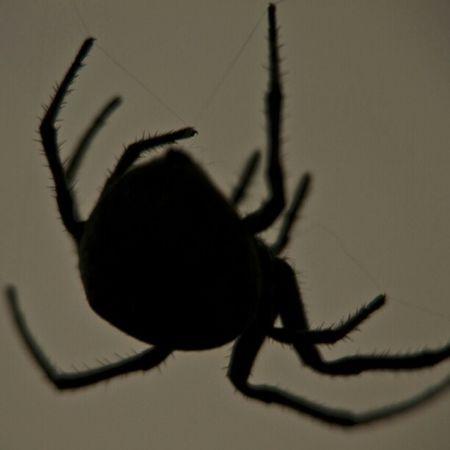 Shadowed spinner Shadow Twilight Spider Spinner Animal Bug Macro Stunning Legs Bestoftheday Beautiful Amazing Photowall Photography Picoftheday Photooftheday Clubpirates Instamood Instagram Instahub Instadaily Instafamous Instagramhub Instagood
