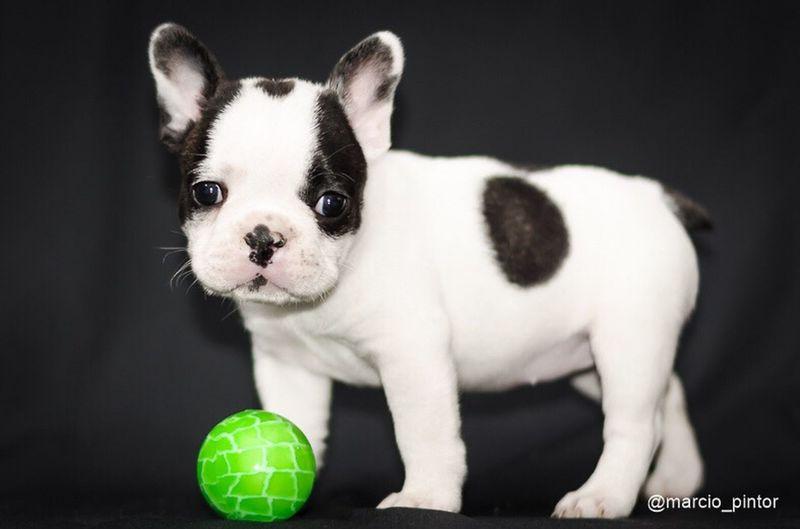 Pet Portraits Pets Domestic Animals Frenchbulldog