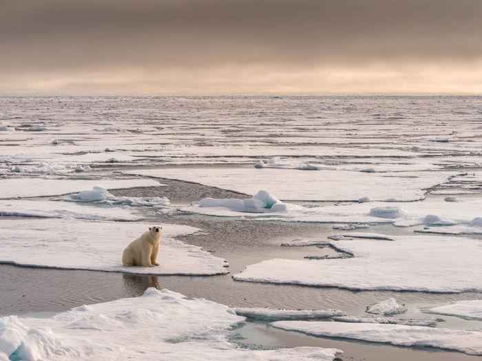 Polar Bear on sea ice, Svalbard Cold Temperature Animal Themes Animal Ice Polar Bear Animals In The Wild Animal Wildlife Bear Winter Mammal Polar Climate Water No People Outdoors Nature Arctic Svalbard  Frozen Sea