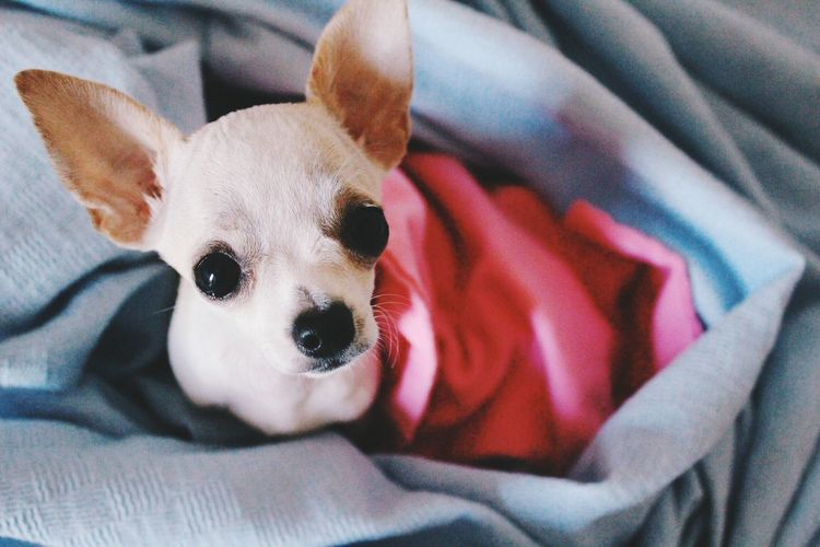 Portrait Of Chihuahua Lying In Blanket