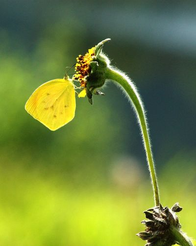 Yellow butterfly on pollen