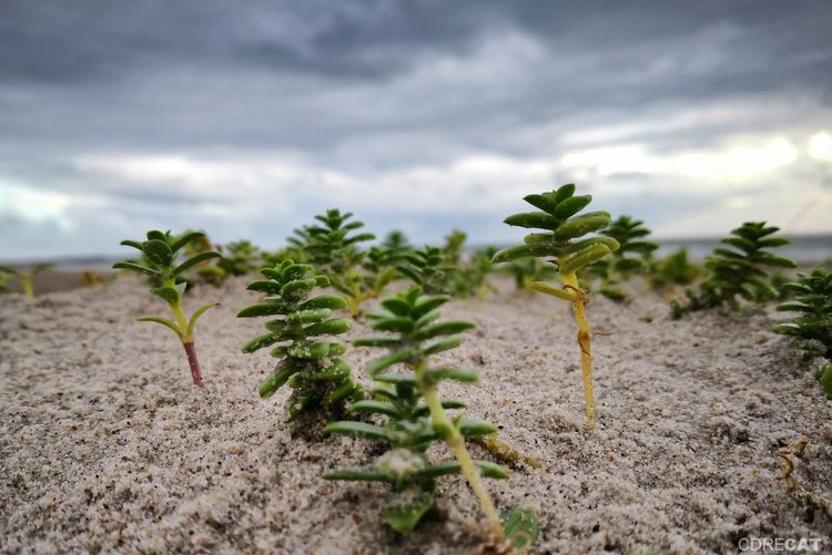 Salzmiere | Sea sandwort | Honckenya peploides Beach Plants Macro Photography Denmark Denmark 🇩🇰 Nature Nature_collection EyeEm Nature Lover EyeEm Masterclass Beach Beach Photography Plants Huaweiphotography Sand Close-up Plant Plantation