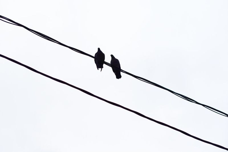 Low Angle View Sky Vertebrate Animal Animal Wildlife Animal Themes Animals In The Wild Bird Perching No People Day Clear Sky Group Of Animals Power Line  Electricity  Nature Outdoors Cable Connection Copy Space