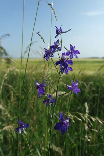 Purple Wild Flowers Fields First Eyeem Photo Flower Flowers Landscape Purple View Wheat Fields Wild Flowers