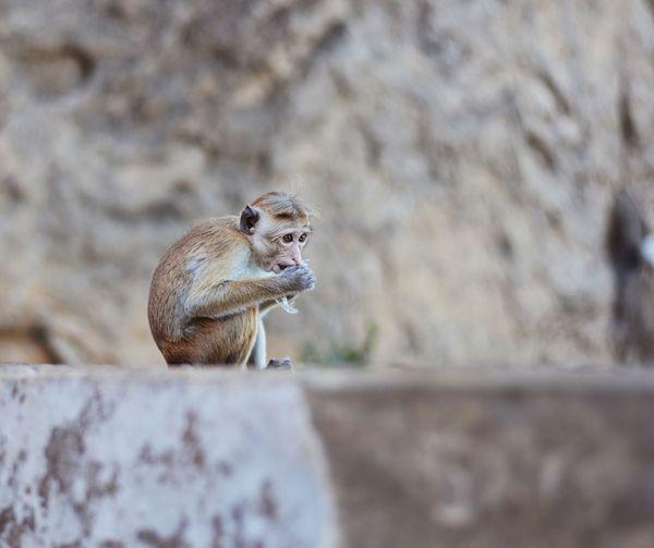 Infant monkey sitting on retaining wall