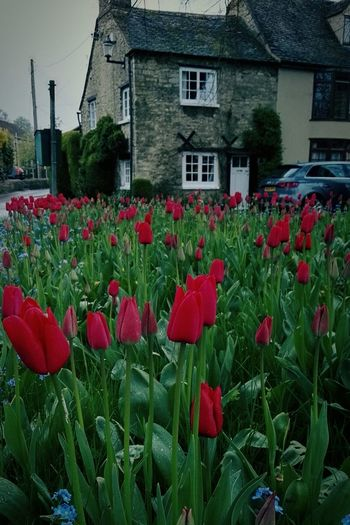 Today I Discovered The Beauty of English Weather. Tulips In Rainy Mood And Cosy Cottage House In Woodstock Oxfordshire UK. LIKE IT! Check This Out Taking Photos Hanging Out