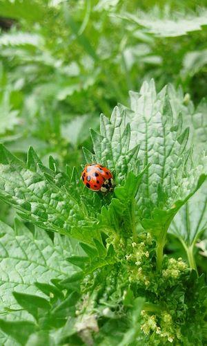 Mariquita Ortiga Nature_collection Nature Photography Summer