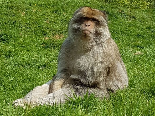 Monkey Barbary Macaques Wildlife Nature Trentham Monkey Forest Monkey Forest Beauty In Nature Primates Amazing Creatures