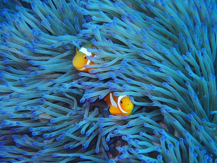 Fish swimming by sea anemones undersea
