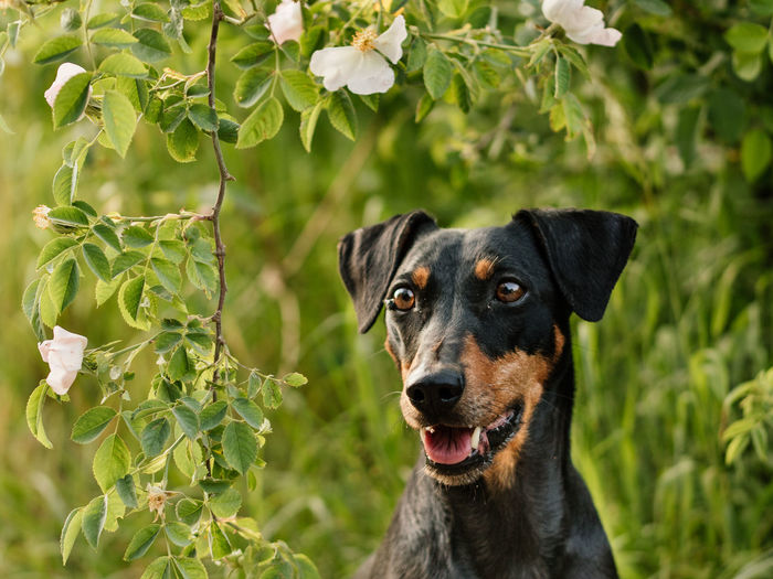 German Pinscher in front of flowers Pet Portraits Animal Themes Close-up Dog Dog Portrait Domestic Animals Flowers Focus On Foreground German Pinscher Looking At Camera Nature One Animal Pets Pinscher Portrait