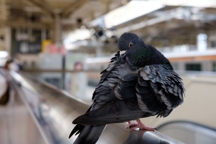 Close-up of pigeon in a train station in japan