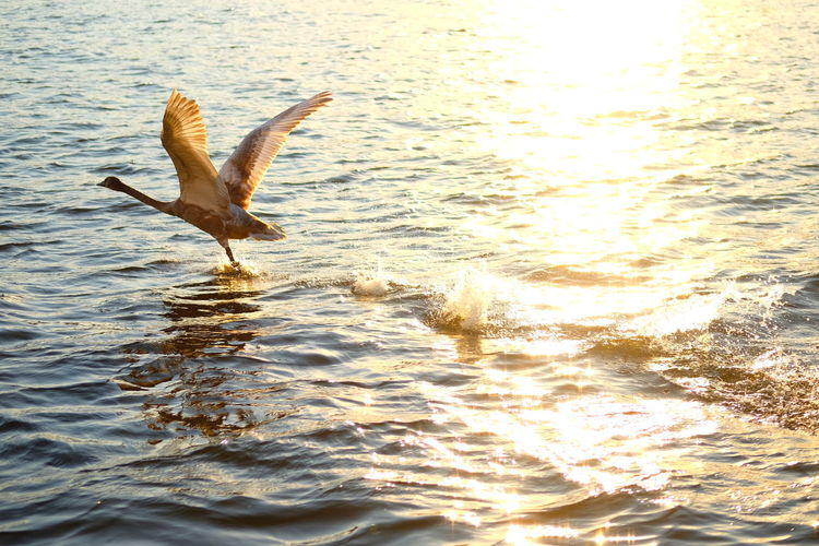 Water Animals In The Wild Animal Themes Animal Animal Wildlife Vertebrate One Animal Flying Bird Spread Wings Waterfront Sea Nature Reflection Motion Beauty In Nature Sunset No People Outdoors Seagull Flapping 2018 In One Photograph