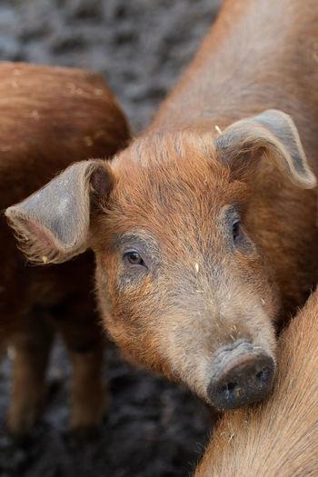 Pig in natural environment Animal Themes Close-up Domestic Animals Domestic Pets Mammal No People One Animal Outdoors Pig Pig In Natural Environment Portrait