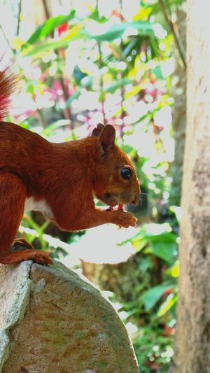 red squirrel Santander-Colombia Squirrels Zoomthelife Animals