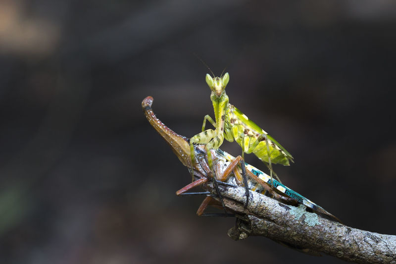 mantis and the pyrops on dry tree Animal Themes Animal Wildlife Animals In The Wild Antenna Biology Bug Candelaria Close-up Day Education Entomology Extermination Exterminators Fly Focus On Foreground Hunter Insect Invertebrate Lanternfly Mantis Nature No People One Animal Outdoors Pyrops