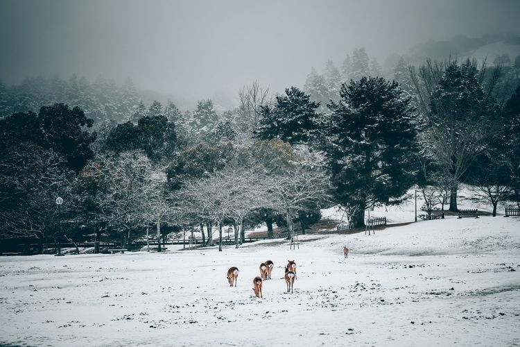 Animals grazing on snow covered field against trees