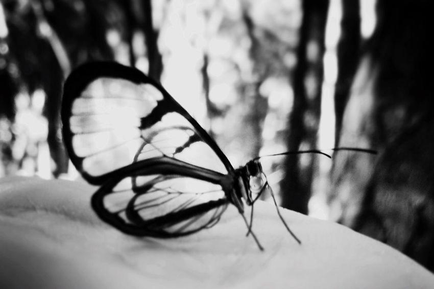 Butterfly. Butterfly HiFiPhotographia HifiFernandaCoronado Blackandwhitephotography Black & White Noiretblanc Blancoynegro Blackandwhite