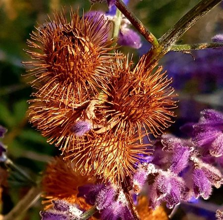 Burs Bur Close-up Nature Fragility Nopeople Fall Beauty Fall Colors Fallbeauty Naturephotography Nature Photography Nature On Your Doorstep