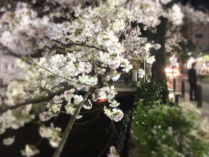 Kyoto City Sakura Kyoto,japan Night Sakura Sakura Blooms Sakura Cherry Blossoms Spring Lights KyotoSpringFlowers Kyoto NIght Lights Kyoto Night Sakura Night Sakura Kyoto,japan Kyoto City Kyoto Springs Kyoto Night Sakura Kyoto Night Sakura Kyoto Sakura 2018 Kyoto Sakura 2018 Flower Blossom Fragility Tree Springtime Growth Stories From The City Nature Beauty In Nature