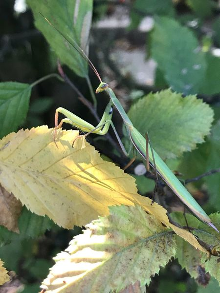 Animals In The Wild Animal Themes One Animal Insect Green Color Animal Wildlife Focus On Foreground Day Outdoors Nature No People Leaf Plant Close-up Grasshopper