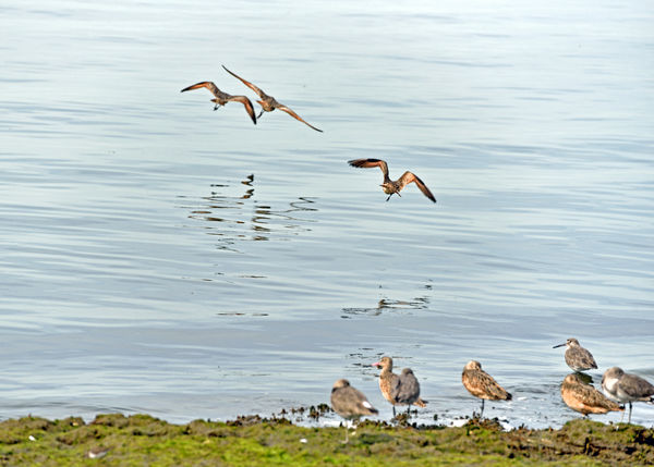 Long-billed Dowitchers @ Haywards Landing 4 Limnodro Scolopaceus Seabird Sandpiper Family Wader Migrant Bird Fresh Water Shallow Water Mudflats Tidal Flats Breeds In Far Northwest Winters From Pacific To Southeast Coasts Diet: Aquatic Invertebrates ,insects, Mollusks,crustaceans, Seed Grasses Birds Birdwatching Birds In Flight Birds_collection Bird Photography