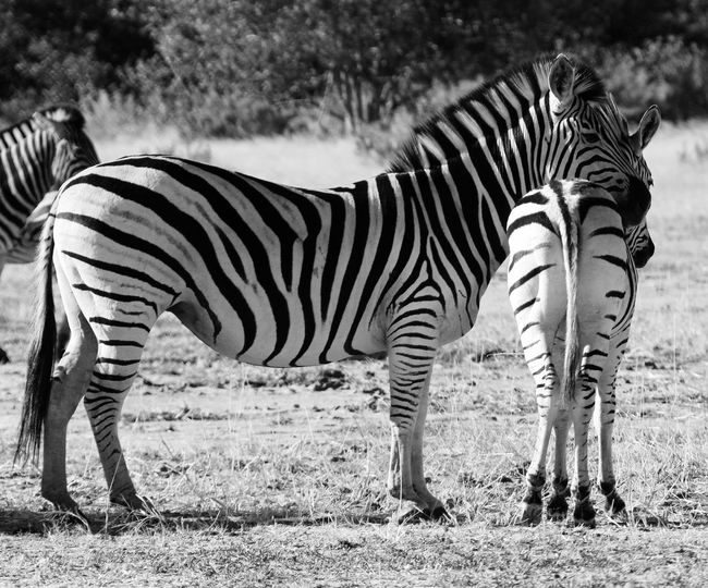 Zebras Animal Striped Mammal Animal Wildlife Zebra Animal Themes Vertebrate