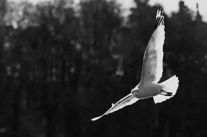 Seagull Flying Against Trees