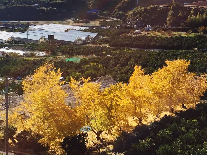 ジョギング ウォーキング 散歩道 散歩日和 いちょう Autumn Tree Nature Beauty In Nature Outdoors No People Tranquility High Angle View Leaf