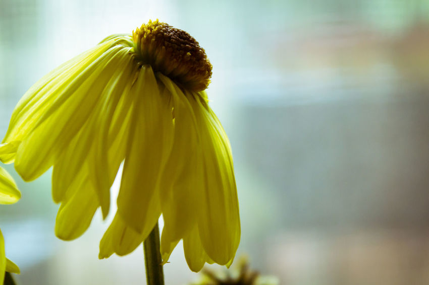 Dying Yellow Daisy Daisy Death Freshness Growth Nature Paint The Town Yellow Plant Beauty In Nature Blooming Close-up Day Daylight Defocused Dying Flower Flower Head Focus On Foreground Fragility Fresh No People Outdoors Petal Springtime Wilted Flower Wilted Plant