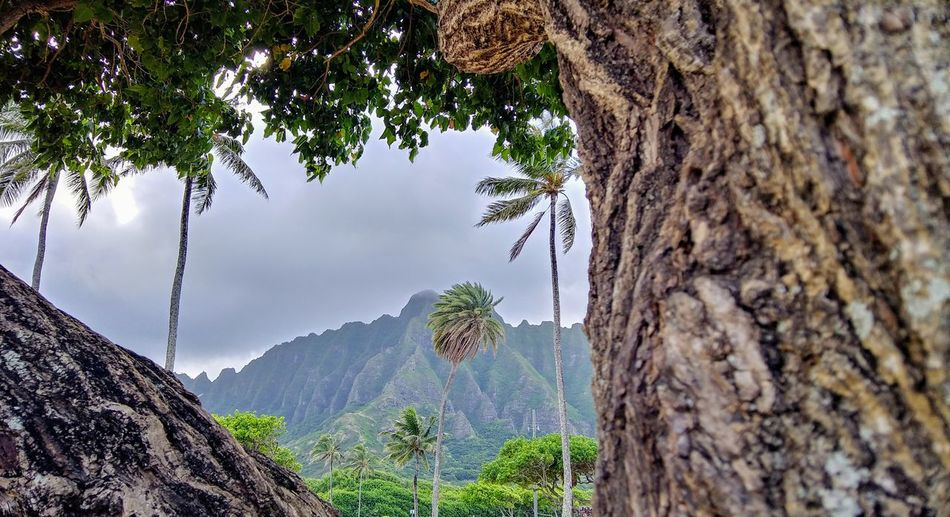 Nature Outdoor Photography Hawaii Palm Tree Travel Destinations Tropical Paradise Trees Mountains Nature_collection Vacation Destination Shrubs Oahu, Hawaii Oahu Mountain Mountains Mountain Peak Tree Tree Mountain Tree Trunk Forest Close-up Sky Plant Bark Lush - Description Countryside Growing Lush Foliage Tree Area