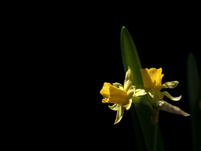 Close-up of yellow flowering plant against black background