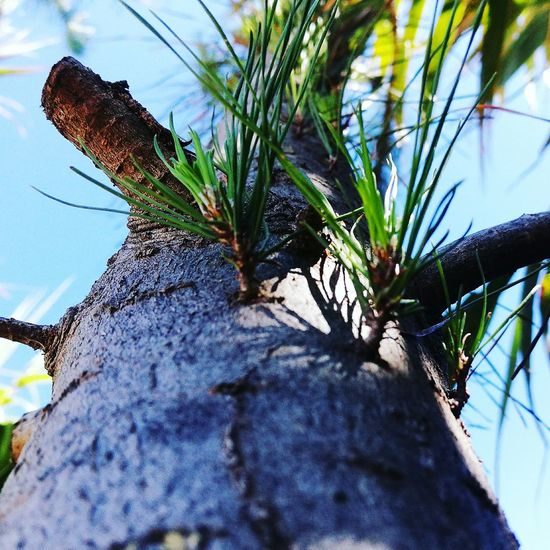 Nature No People Palm Tree Beauty In Nature Pino árbol Arboles , Naturaleza Arbol De Navidad Nature Plant Despejado Travel Destinations Cielo Selva Verano VERANO♥ Playa playa beach