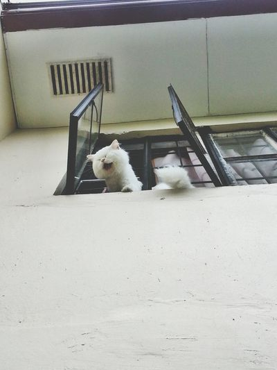 Nyarrr! Persiancat White Cat Big Cat